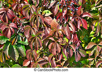Parthenocissus (Boston Ivy)