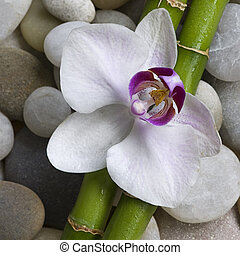 orquídea, bambú