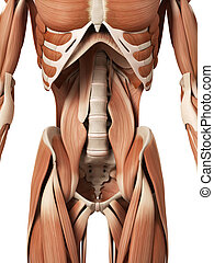 the abdominal muscles - medical 3d illustration of the...