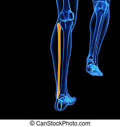 the fibula bone - medical 3d illustration of the fibula bone...