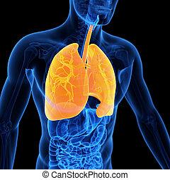 a, pulmão,
