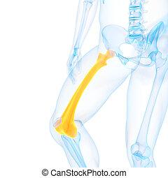 the femur - medical 3d illustration of the femur