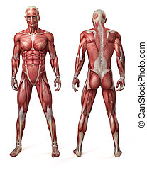 the male muscular system