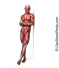 the male muscular system - medical 3d illustration of the...