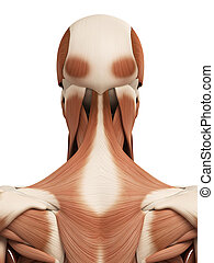 the head muscles - medical 3d illustration of the head...