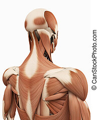 the upper back muscles - medical 3d illustration of the...