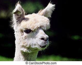 alpaca - head from a cute alpaca