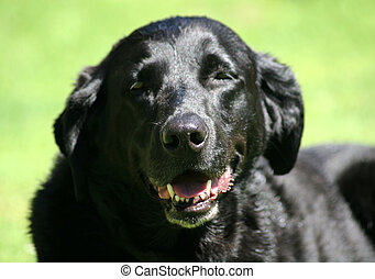 Black Lab Panting in Sunshine - Close up of happy black lab...