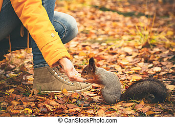 Squirrel eating nuts from woman hand and autumn leaves on...