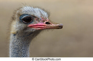 Portrait of an ostrich.