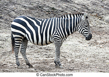 Grants Zebra (Equus burchelli boehmi) - Grants Zebra...