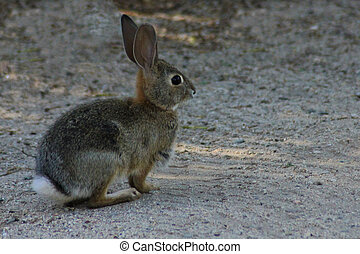 Cottontail Rabbit - A cottontail rabbit pauses to pose for a...