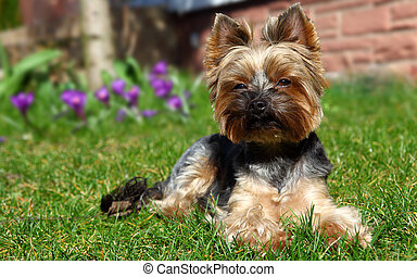 Cute Yorkshire Terrier Dog laying in the yard.