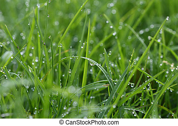 green grass background - green grass in the morning with...