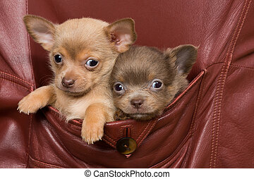 Chihuahua dogs in a coat pocket - Two adorable chihuahua...