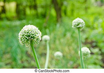 Onion flower - Fresh green onion flowers in a rural green...