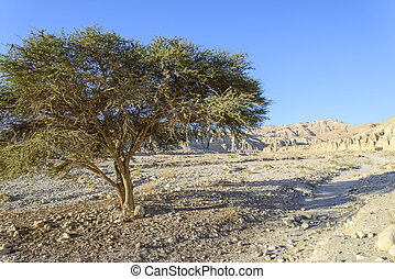 Israel, The Judean Desert, lonely tree