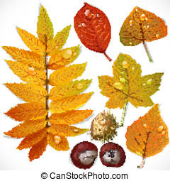 A set of yellow and red autumn leaves and chestnut isolated on a white background