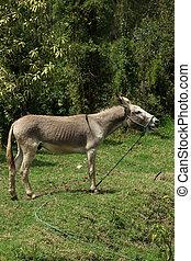 Jerusalem Donkey in a Pasture