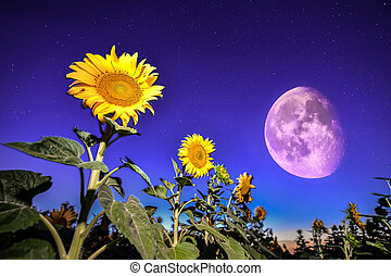 Sunflowers on night - with stars sky and stars full moon...