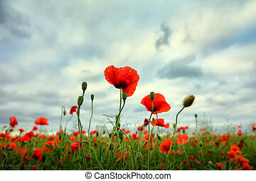 Red poppies close up on stormy skyes background field