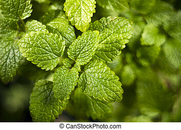Lemon balm Melissa officinalis, also known as balm or balm...