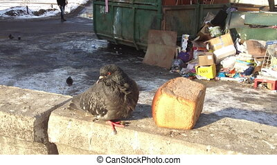 The dove at the loaf of bread