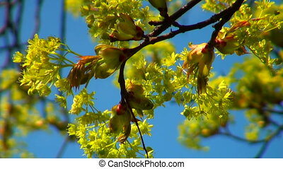 Linden flowers in the sky