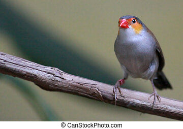 Red Browed Finch - A red browed finch perched on a tree...
