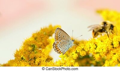 Butterfly and bumblebee on the Solidago virgaurea flowers