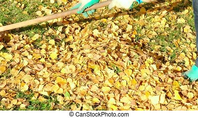 Autumn leaves - Woman rakes yellow autumn leaves