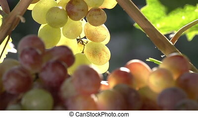 Rich Harvest of Grapes - The camera slowly zooms out from a...
