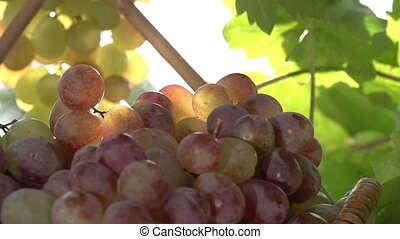 Grapes and Sun - The camera slowly zooms out from a bunch of...