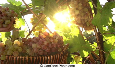 Bunches of Grapes in the Warm Rays