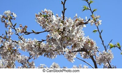 Cherry flowers The flower of the cherry tree which blooms in...
