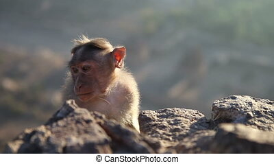 monkey looks around at dawn sitting on a rock in mountains -...