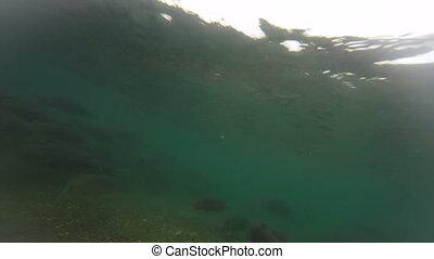 Spawning Sockeye Salmon Oncorhynchus nerka