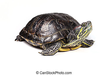 Turtle - Red-eared slider isolated on a white background.
