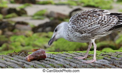 Seagull eating fish head