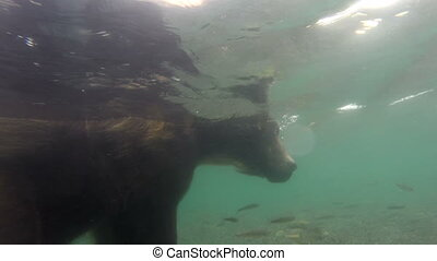 Grizzly bears fishing for salmon, underwater.