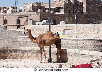 Camel tied up in Sanaa, Yemen