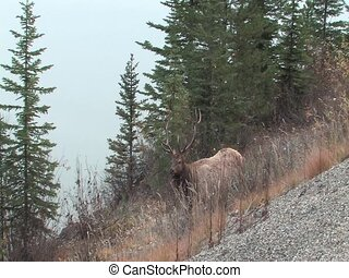 Bull Elk on the edge of Lakeclose to Jasper