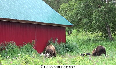 Brown bear near the house Summer
