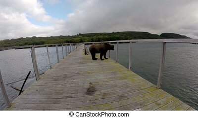 Brown bear walking in the forest facing camera.