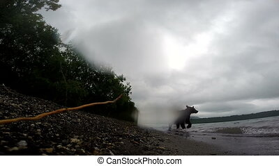 Brown bear walking in the forest facing camera