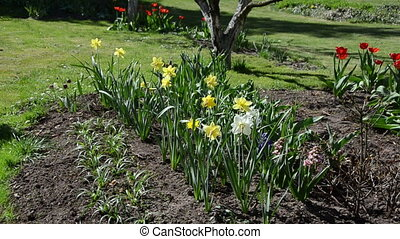 watering narcissus flower