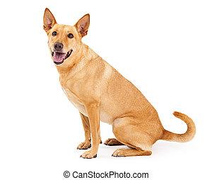 Carolina Dog Sitting Profile - A happy young Carolina Dog...