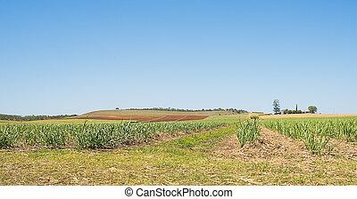 Australian Sugarcane Plantation in Spring