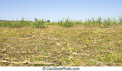 Australian Sugarcane Plantation After Harvest