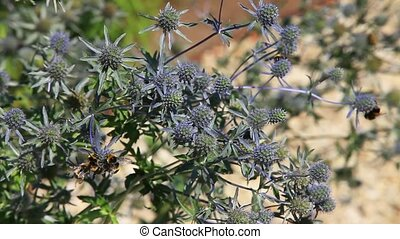 Blue thistle flower - Feverweed flowers with lots of bumble...
